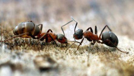 Способы избавления от муравьев в доме, в огороде и в саду.