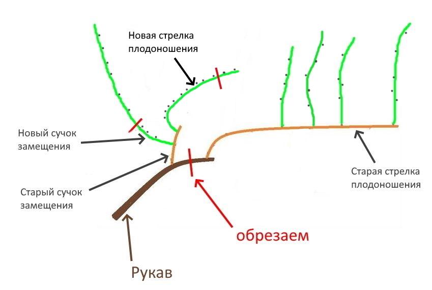 Схема образования плодового звена.